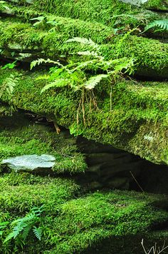The lush deep green of the moss serves as a carpeted backdrop to the wild ferns that emerge from the rock crevices at Little Rocky Glen, Pa. Bonsai, Forest Garden, All Nature, Shade Garden, Ferns, Water Features, Shades Of Green, Garden Inspiration, Beautiful World