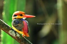 Black Back Kingfisher