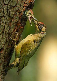 A green woodpecker feeding a young chick in Surrey, United Kingdom. By Jon Hawkins.