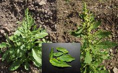 Epazote Dysphania Chenopodium Ambrosioides Seeds