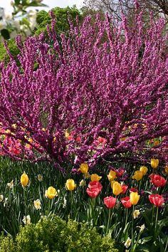 Anyone out there think that a redbud tree is a good tree for in front of a townhouse that has approximately x Trees And Shrubs, Flowering Trees, Redbud Trees, Spring Ahead, Garden Junk, Spring Tree, Spring Blossom, Garden Spaces, Backyard Landscaping