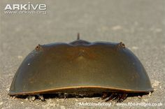 Horseshoe crab, close-up of adult on beach