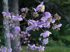 Thalictrum rochebrunnianum Franch. & Sav. - W