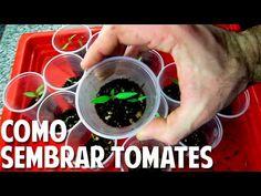 Como Sembrar Tomate desde Semilla - Germinación en 7 días - Video Comple...
