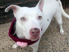 Meet TRACEY a Petfinder adoptable Pit Bull Terrier Dog | New York, NY | A volunteer writes:   Chunky Monkey.   Rubenesque.  Full Figured.  Zaftig.    You choose your...