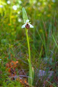 Flores. Foto de orquidea becada. Ophrys scolopax.