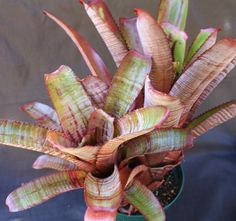 Aechmea nudicaulis 'Parati' Bromeliad from Paradiso Tropic Nursery sold for $14.95. paradisotropic.com