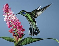 Multimídia: beija-flor | Britannica Escola Online