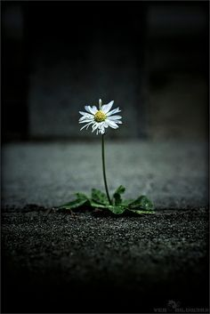 Flowers growing through pavement where there wasn't even a crack ...