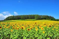 Furano, Japan Champs, Furano, Turning Japanese, Japanese House, Okinawa, Travel Essentials, Outdoor Activities, Fields, Around The Worlds