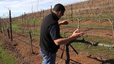 Double Guyot and Cordon Pruning Lesson