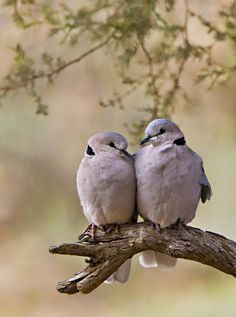 Dove Love Poster by Basie Van Zyl Cute Birds, Pretty Birds, Beautiful Birds, Animals Beautiful, Photography Awards, Animal Photography, Adventure Photography, Animals And Pets, Cute Animals