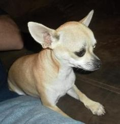 Viola is an adopted Chihuahua Dog in Viola, TN. Viola was abandoned on our Shooting Range. She was so scare and I had to sedate her to catch her. After I caught her she was fine. She weighs approximat...