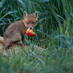 Red Fox Cub by Andreas Hülf on Fox Totem, Interesting Animals, Pet Fox, Fox Pattern, Arctic Fox, Fox Art, Dog Wedding, Wild Dogs, Tier Fotos