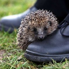 Our library hedgehog, Casper, likes to sit on our shoes, also!