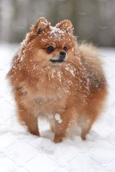 Marvelous Pomeranian Does Your Dog Measure Up and Does It Matter Characteristics. All About Pomeranian Does Your Dog Measure Up and Does It Matter Characteristics. Spitz Pomeranian, Baby Pomeranian, Pomeranians, Cute Puppies, Cute Dogs, Dogs And Puppies, Doggies, Cute Baby Animals, Animals And Pets