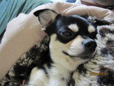 Chihuahua Pepe