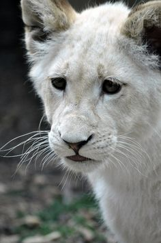 ~~White Lion Cub by Mad Meerkat~~