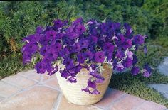 Blue Wave Petunia 10 Seeds - Annual