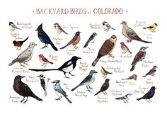 This watercolor painting features 25 Backyard Birds of Colorado as a field guide chart. It features the following birds: American Crow  American Goldfinch  American Robin  Black-billed Magpie  Black-capped Chickadee  Blue Jay  Cassins Finch  Dark-eyed Junco  Downy Woodpecker  Eurasian Collared-Dove  European Starling  Hairy Woodpecker  House Finch  House Sparrow  Mountain Chickadee  Mourning Dove  Northern Flicker  Pine Siskin  Red-breasted Nuthatch  Red-winged Blackbird  Sharp-shinned Hawk…