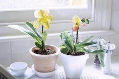 paphiopedilum in pots, kitchen window sill, white cup & saucer - Linda Burgess/Photolibrary/Getty Images