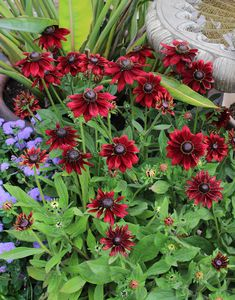 Rudbeckia hirta 'Cherry Brandy' - at Annie's Annuals (Little Prince had it in Front Yard Plants, Backyard Plants, Backyard Ideas, Garden Ideas, Fall Plants, Shade Plants, Rabbit Resistant Plants, Cherry Brandy, Homestead Gardens