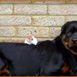 Who Is The Best Friend Of This Rottweiler Dog? You Won't Believe This!  Watch the video below. Have you met a  Rottweiler  before? Or, do you have one at home right now? They are strong and big dog breeds.   However, do you think he can be friendly to all the people including the other animals, particularly the small ones in the house? This  Rottweiler  has developed a unique friendship. Who is his best friend?   Don't miss the video …   Watch the video below and see how friendly thi..
