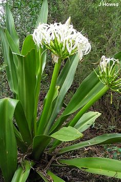 Crinum lily is a genus of about 100 species, most of which occur in Africa. This dramatic beauty is a centerpiece for shade gardens. Tropical Landscaping, Landscaping Plants, Tropical Plants, Tropical Gardens, Shade Plants, Air Plants, Garden Plants, Australian Native Flowers, Australian Plants