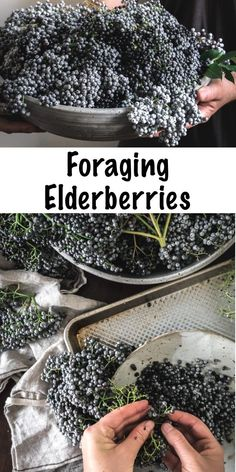 Foraging Elderberries ~ Learn how to identify and forage for elderberry, plus ideas on how to work with and use this exceptional medicinal berry! Elderberry Bush, Elderberry Recipes, Elderberry Growing, Healing Herbs, Medicinal Plants, Edible Wild Plants, Wild Edibles, Herbs Indoors, Homesteading