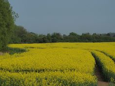 A field of oil seed rape in bloom at Chattenden in Kent