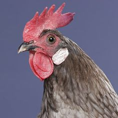 Chicken Breeds - Andalusian