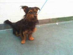 TOTO (A1662979) I am a male black and brown Yorkshire Terrier mix.  The shelter staff think I am about 4 years old and I weigh 14 pounds.  I was found as a stray and I may be available for adoption on 12/06/2014. — hier: Miami Dade County Animal Services. https://www.facebook.com/urgentdogsofmiami/photos/pb.191859757515102.-2207520000.1417560787./882311935136544/?type=3&theater