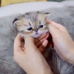 Newborn Kittens, Baby Kittens, Kittens Cutest, Cute Cats, Teacup Kitten, Animals And Pets, Cute Animals, Persian Kittens For Sale, Kitten Care