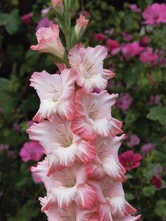 20 Flowers for a Cutting Garden: Gladioli --> http://www.hgtvgardens.com/flowering-plants/20-flowers-for-a-cutting-garden?s=1&soc=pinterest
