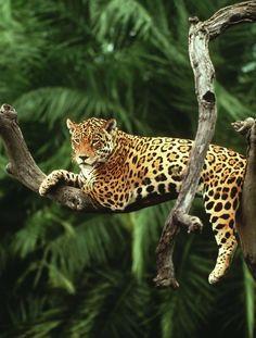 World Wildlife Fund Jaguar