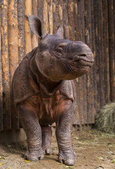 Very cute baby Indian rhino- San Diego