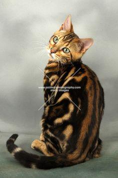 young brown marble bengal cat back view - #bengal - More Bengal Cat Breeds at Catsincare.com!