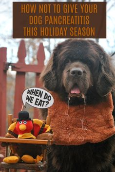 It's tempting to give your dog some of your Thanksgiving dinner but too much can cause them to get very sick and cost you a lot of money in the long run. How Not To Give Your Dog Pancreatitis This Holiday Season - My Brown Newfies Large Breed Dog Food, Large Dog Breeds, Dog Care Tips, Pet Care, Animal Nutrition, Pet Nutrition, Pancreatitis In Dogs, Pet Raccoon, Dog Table