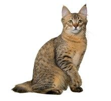 Pixiebob Cat Breeds - Purina®