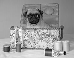 A pugs guide to dating by gemma corelle dinner
