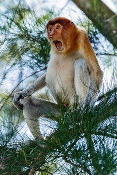 ON SALE Print of Proboscis Monkey, Wildlife Photography, Nature Photography, Wall Art, Animal Art Print, Fine Art Print, Decor, Nature Print - £48.00 GBP #etsy