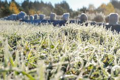 laveder field in fall.