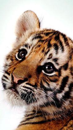 tiger, kitten, big cat, cub, predator                                                                                                                                                                                 More