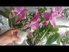 Use água de arroz em suas orquídeas e veja que incrível! - YouTube Carne, Youtube, Gardening, Flowers, How To Replant Orchids, Backyard Playhouse, Garden Projects, Rose Trees, Nursery Trees