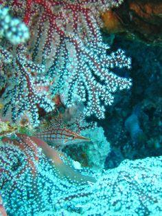 Hawkfish camouflage, Palau coral