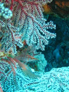 Long nosed Hawkfish camouflage, Palau coral