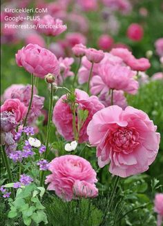 Ranunculus/is a category of flowering plants in the family Ranunculaceae. The petals are typically very lustrous, particularly in yellow types, owing to a unique coloration mechanism: the flower's top surface is smooth triggering a mirror-like reflection. My Flower, Pretty Flowers, Pink Flowers, Pink Poppies, Ranunculus Flowers, Cactus Flower, Exotic Flowers, Yellow Roses, Flower Beds