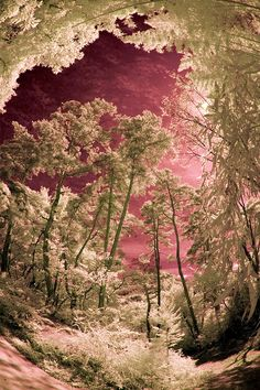 Beautiful...Overhead In Bessho Onsen Forest - PINK
