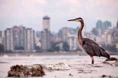 Guarding Vancouver - Wonderful Pictures of Canada Day Trips From Seattle, Costa, Shanghai Skyline, Aquatic Birds, Especie Animal, Stanley Park, Wonderful Picture, Fauna, Animal Welfare