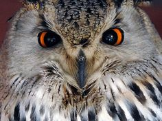 Bengal Eagle Owl - not sure I want him looking at me like that......